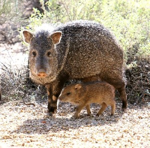 Javelina with baby 2